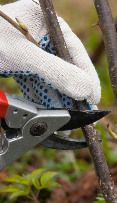 focus su una mano durante un taglio con forbice da potatura elettrica regolabile